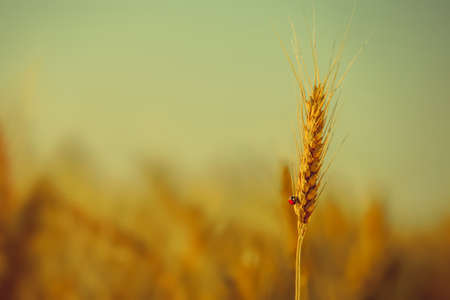 On ripened earing yellow dry wheat crawling ladybug on a field on a bright, sunny day.