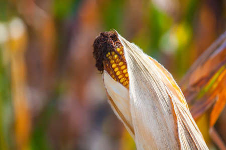 mature, a dried ear of yellow sweet corn on the field. Collect corn crop