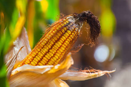 Immature, wizened, diseased and moldy corn cob on the field, close-up. Collect corn crop.