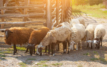 bovidae: In the morning a flock of sheep out of  corral for the cattle in the pasture.Breeding animals on the farm.