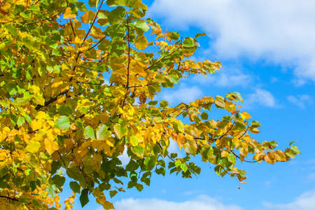 Yellowing leaves on the branches of a linden tree on blue sky background close-up. Autumn leaf fall.