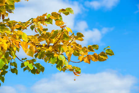 yellowing: Yellowing leaves on the branches of a linden tree on blue sky background close-up. Autumn leaf fall.
