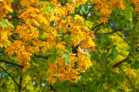 yellowing: Yellowing leaves on the branches of a maple tree on blue sky background close-up. Autumn leaf fall.