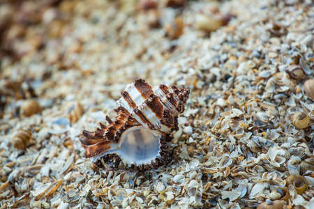 high tide: One shell white brown clam lies on the beach after high tide.