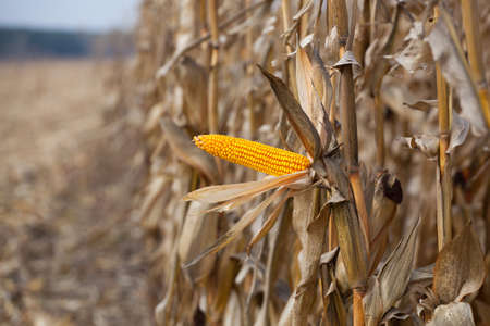 agronomist: one mature yellow cob of sweet corn on the field. Collect corn crop.