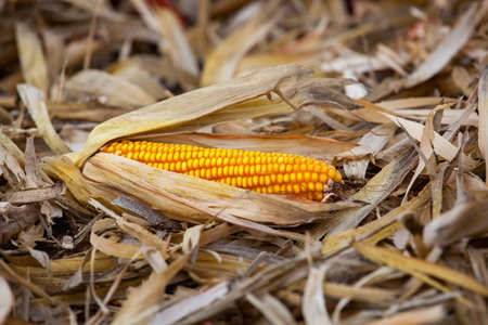 One ripe yellow cob of sweet corn field lies on the ground. Collect corn crop. Stock Photo