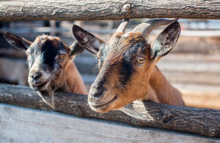 two young, small goatling peeping from behind a wooden fence in the aviary