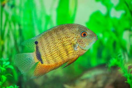 Small, beautiful Cichlasoma fish floats in an aquarium with algae.