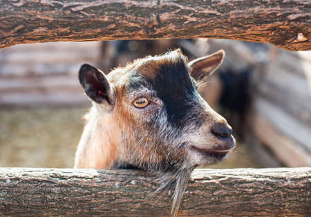Young, small goatling peeping from behind a wooden fence in the aviary