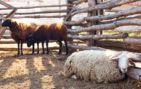Flock of sheep of different suits in a pen for livestock, preparing to go out to pasture. Breeding animals on the farm.