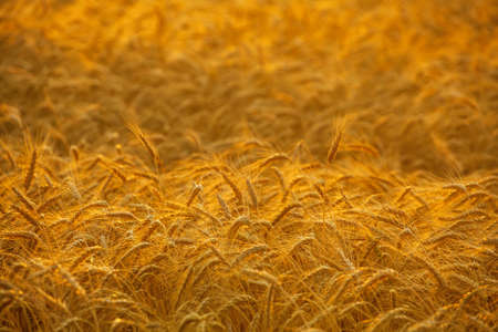 Big ripe, gold-brown field, yellow, wheat at sunset. Grain harvest in the summer.