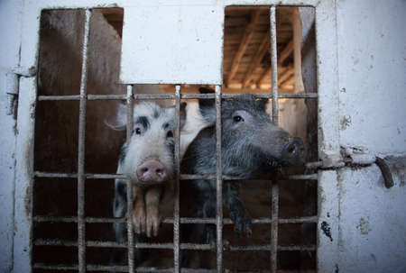 animal breeding: Two young, amusing piglet peeking from behind the bars of the enclosure. Animal breeding on a pig farm.