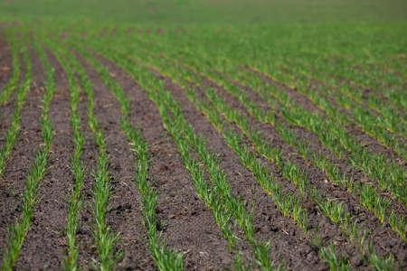 Feld mit sprossen Winterkulturen in einer Reihe, Weichweizen vor dem Winterschlaf Standard-Bild - 72303120