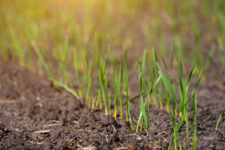 sprouted: Field with sprouted winter crops in a row, low wheat before hibernation.