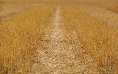 agronomist: A large, sloping yellow wheat field in the summer. Grain harvest. Stock Photo