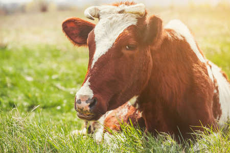 red heifer: A young horned cow of brown color lies on a meadow.  Breeding animals on the farm.