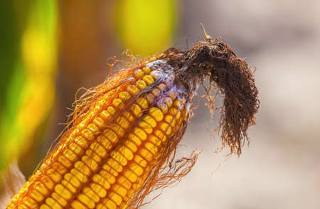 Immature, diseased and moldy corn cob on the field, close-up. Collect corn crop. Stock Photo