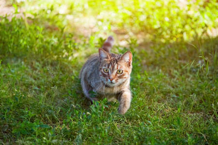 A young, beautiful striped cat walks in nature in the summer. Stock Photo