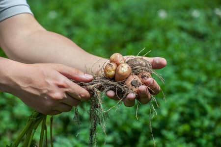 he: The man is an agronomist, he is holding a bush of young potatoes dug from the bed. Stock Photo