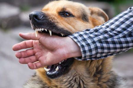 A male German shepherd bites a man by the hand. Archivio Fotografico