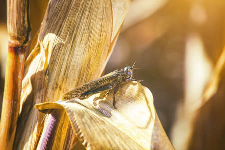 Large, gray-green specimen locust sits on a dry piece of corn in the field. Invasion of insects, pest control in agriculture.