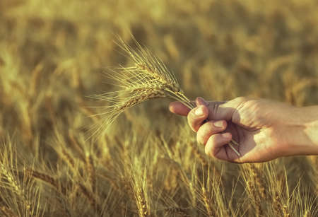 agronomist: Mature, dry ears of golden wheat in a field at sunset in his hand agronomist. Harvesting.