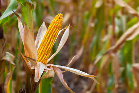 Ripe yellow cob of sweet corn on a large field. Autumn collection corn crop. Stock Photo