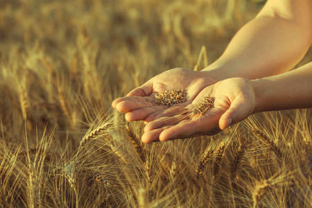 Agronomist stands on a large field at sunset, holding hands to ears of wheat grain. The harvest of cereals in the summer. Stock Photo