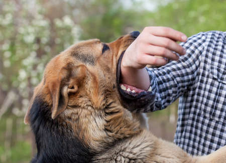 A male German shepherd bites a man by the hand. Banque d'images