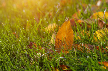 Yellow fallen leaves lie on the ground in the fall in nature. Stock Photo