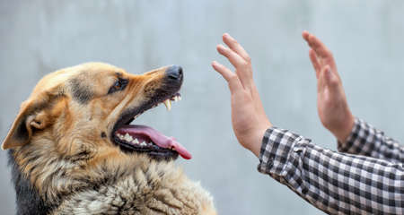 A male German shepherd bites a man by the hand. 免版税图像