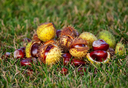 Fallen from the trees and peeled chestnuts in the shell lying on the ground Autumn October afternoon outdoors Stock Photo