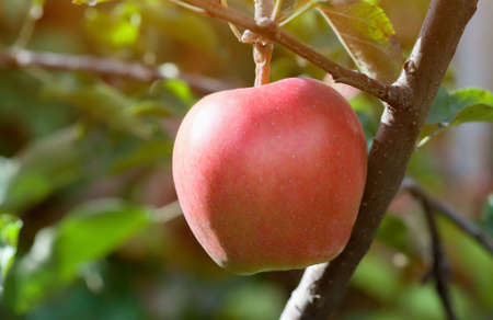 Big red apple fruit on a branch in an apple orchard. growing fruit in the garden.