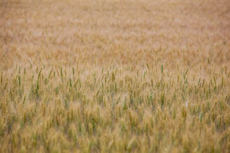 Picturesque mature, golden-brown field, yellow wheat at sunset. Grain harvest in summer.