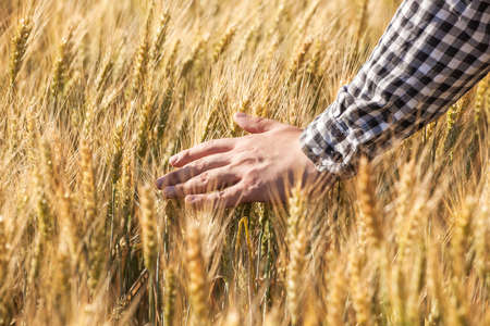 Farmer agronomist on the wheat field touches the golden spikelet. Grain harvest in summer.