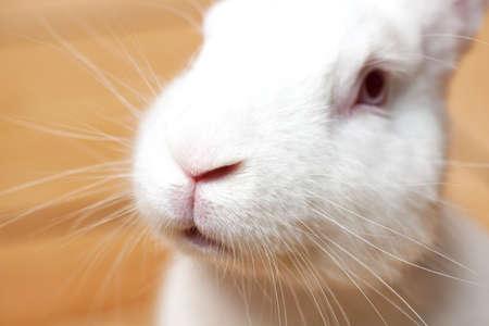 Small white domesticated rabbit closeup. Breeding pets.