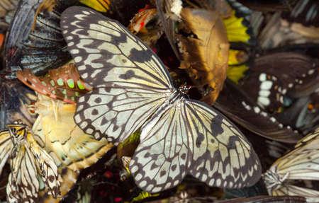 Many dead thoroughbred butterflies lie in a heap.
