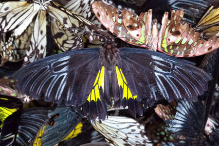 Many dead thoroughbred butterflies lie in a heap.