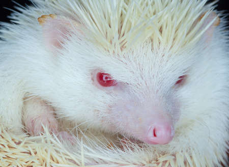 White albino hedgehog with red eyes close-up. Breeding of rare, thoroughbred animals at home.