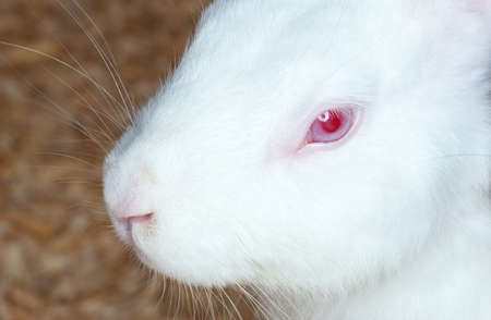 Small white domesticated rabbit closeup. Breeding pets.