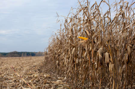 Ripe yellow cob of sweet corn on a large field. Autumn collection corn crop. Autumn harvest.
