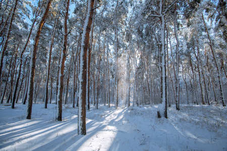 Beautiful snowy spruce forest landscape and fields in the winter. Winter weather, frost.
