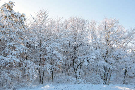 A beautiful snow-covered landscape of spruce forest in winter. Winter weather, frost.