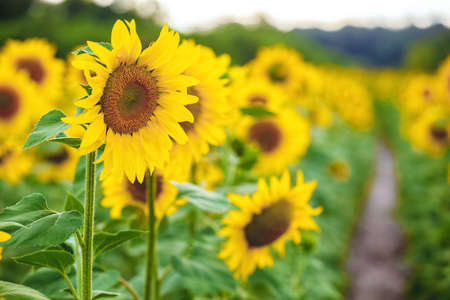 A picturesque field of a blossoming sunflower at sunset. Grain harvest in summer.