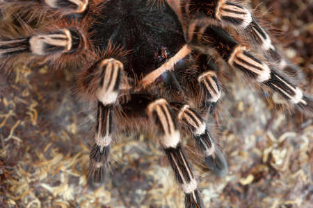 A spider tarantula in search of food in the steppe close-up. Stock Photo