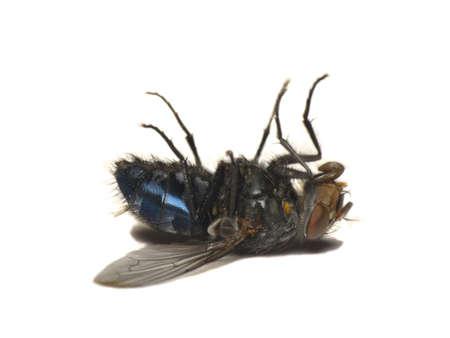 fluga: Död fluga, isolerat, vit