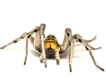 arachnidae: Big spider-Geolycosa vultuosa-isolated on white background