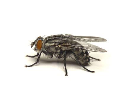 fluga: Fly Sarcophaga carnaria isolerad på en vit bakgrund Stockfoto