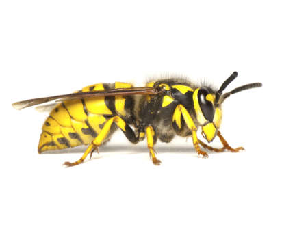 German wasp,or European wasp-Vespula germanica, isolated on white background photo