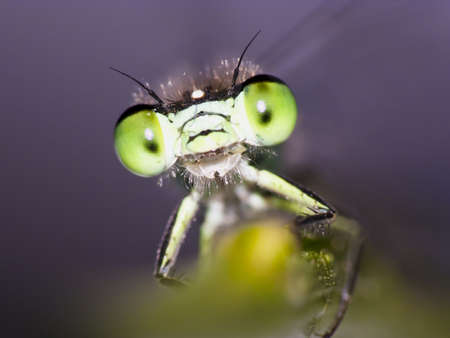 Portrait of a green damselfly photo